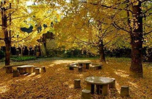 腾冲银杏村为什么成为秋季旅游胜地?